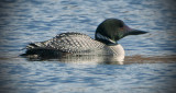 _DSC0647.jpg  The Common Loon