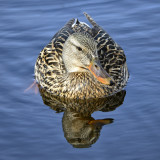 _DSC0962pb.jpg Female Mallard Duck