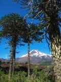 Le volcan et les auraucarias