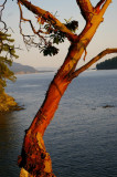 Arbutus in the sunset