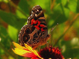 4-26-2005 Butterfly on Firewheel.JPG