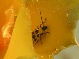 4-27-2005 Yellow Beetle.JPG