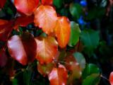 11-2005 Pear TreeZ.JPG