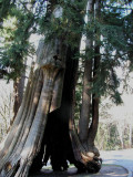 Vancouver BC CanadaTree Struck by Lightning.jpg
