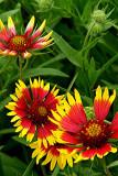 Texas Wildflowers  5-6-2007