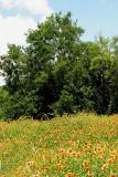 Texas Wildflowers in the Sun  8.jpg