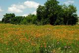 Texas Wildflowers in the Sun  11.jpg