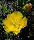 Cactus Flower 1.jpg
