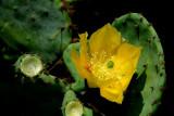 Cactus Flower 3.jpg