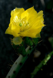 Cactus Flower 4.jpg