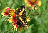 Butterfly on Wildflower.jpg