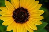Sunflower 1.jpg