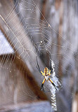 Orb Web Spider 11a