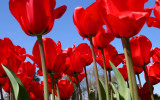 Skagit Valley Tulips *all galleries*