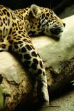 Jaguar, logging out