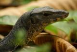 Free ranging monitor lizard