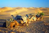 Camels in Ksar Ghilane