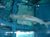 Bonnet Head Shark
