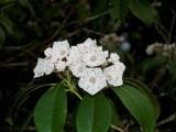 Mountain Laurel Bloom