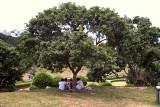 Kínverjar hvílast undir tré.