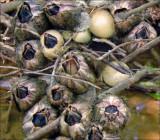 Barnacle Eggs