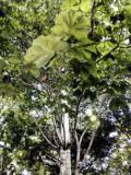 Arbol Panamá - Panama Tree