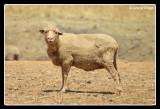6506-sheep