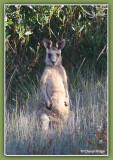 9448-kangaroo