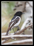 6961-hooded-robin