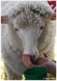 9491- feeding lamb