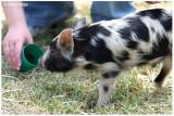 9498- feeding piglet