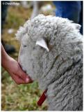 9504- feeding lamb