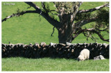 9461- old stone fence and sheep near Strathalbyn