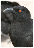 Ravens, Choughs and Crows