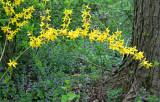 Springtime Forsithia