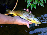 Brown Trout with fly