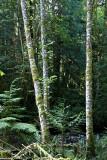 Alder Trees