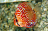 Symphysodon  discus  fish  red  ...