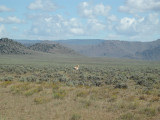 An antelope on the road into Big Sandy lodge,