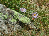 Lichens and Showy Daisies.JPG