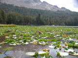 Lilly pads at Divide Lake 2.JPG