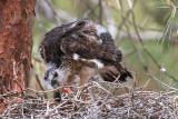 Sparrowhawk - nestling
