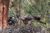Sparrowhawk - female with nestling
