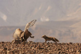 Griffon Vulture and  Fox