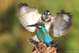 Common Kingfisher & Pied Kingfisher