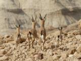 nubian ibex
