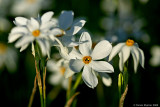 Late-flowering Narcissus