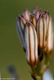Common Asphodel