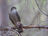 Sparrowhawk - female