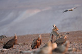 Wolves' and  Griffon Vultures